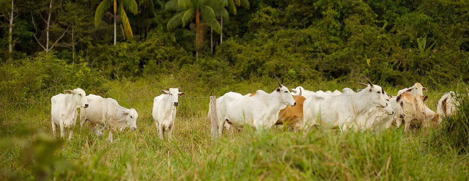 Roadmaps para a Originação Sustentável da Cadeia de Carne Bovina