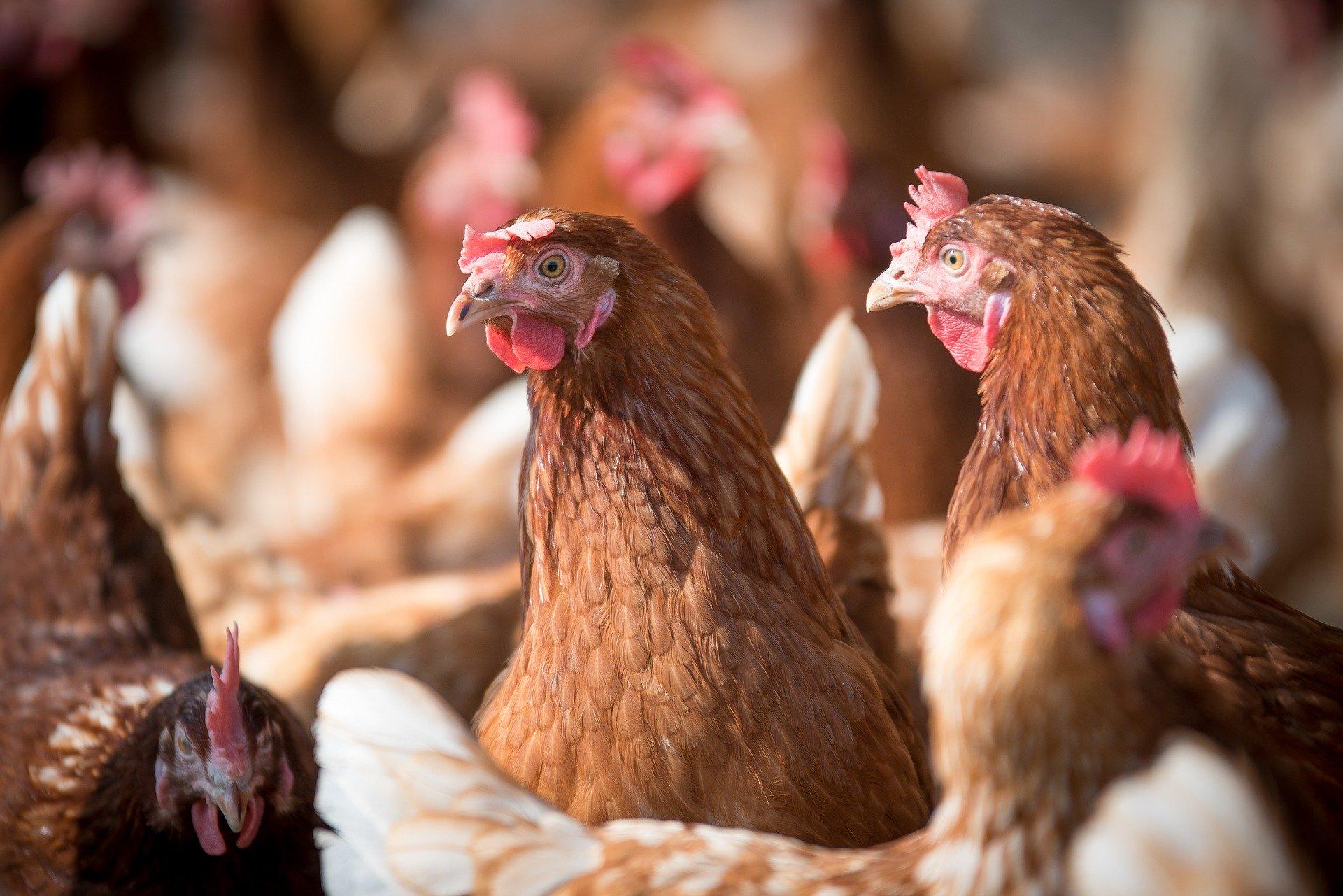 Produção de aves e suínos atende mercado interno e exportações, mostra estudo da Agroicone e ABPA