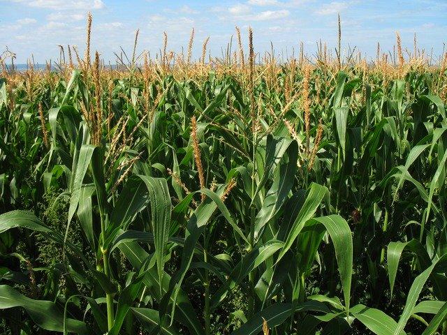 Etanol de milho de segunda safra contribui para mitigar emissões de gases de efeito estufa